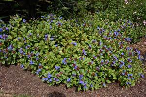 Flowering Winter Shrubs - ceratostigma plumbaginoides landscape architect s pages