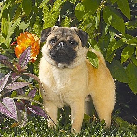 pug club of pug of the month september 2015 northern california pug club