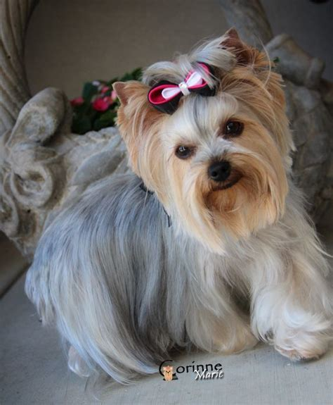cool yorkie haircuts cool yorkie haircuts 28 images yorkie haircut i need to smile best 25 terrier