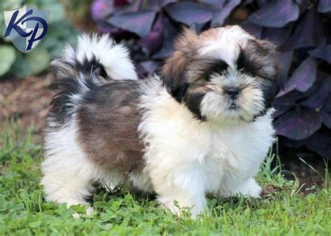 shih tzu breeders pennsylvania 121 best images about shih tzu puppies on
