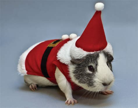 guinea pig santa outfit weird christmas gifts 2013