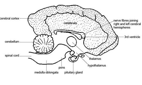 how big is a pugs brain dogsforlife understanding more about a brain
