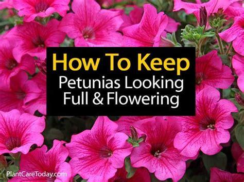 25 best ideas about petunia care on pinterest petunia