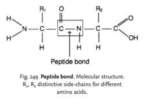 definition generic structure of biography peptide bonds definition of peptide bonds by medical