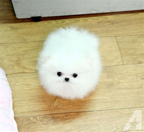 pomeranian jacksonville fl white tea cup pomeranian puppies available 347 480 7238 for sale in jacksonville