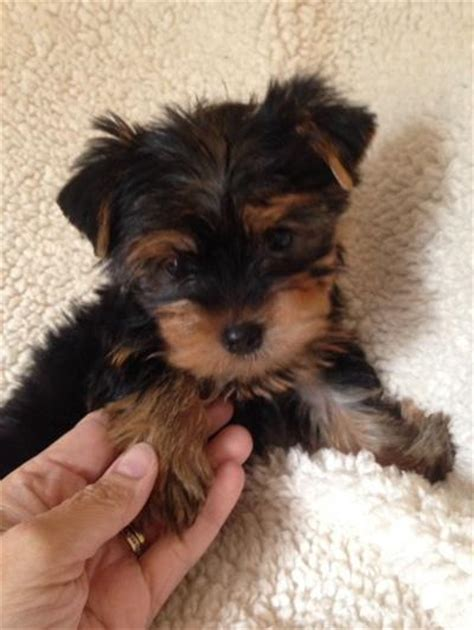 yorkie puppies for sale in corpus christi puppies in corpus christi for sale