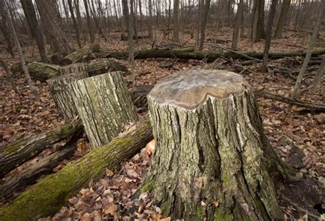 cut down your own tree in md beetle infestation forces grca to cut thousands of ash trees therecord
