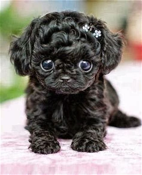 most adorable animals 5 most adorable teacup puppies animals pinterest