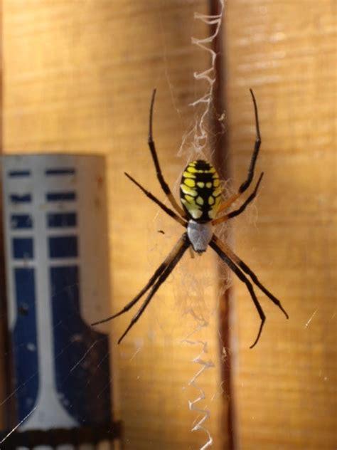 Yellow Garden Spider Size Ask An Expert Extension