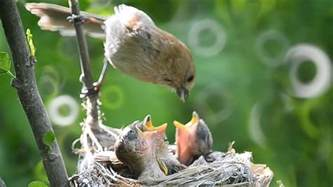 beautiful eastern phoebe little birds feeding their babies