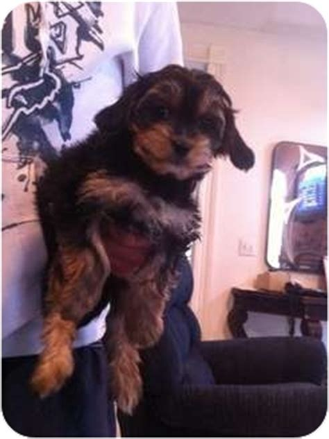 king charles yorkie mix for sale cavalier king charles spaniel yorkie mix breeds picture