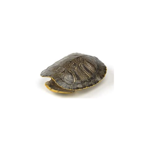 red eared turtle shell real turtle shell