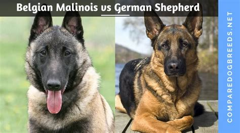 belgian malinois vs german shepherd belgian malinois vs german shepherd compare breed