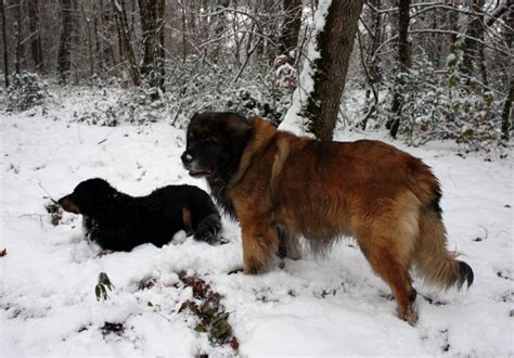 golden retriever and bad the the bad the pixs heavy golden retrievers golden retriever forums