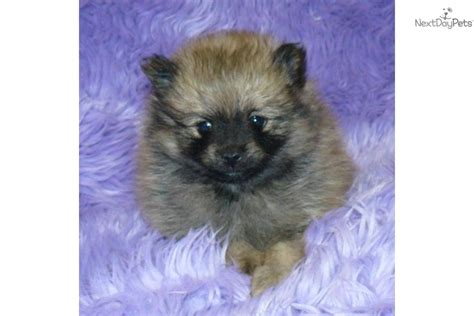pomeranian puppies california teddy pomeranian puppies for sale teddy pomeranian puppies for sale in