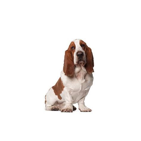 basset hound puppies ohio basset hound puppies petland carriage place