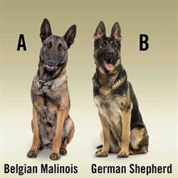 belgian shepherd toronto gsd amp mal they are not one in the same they re more
