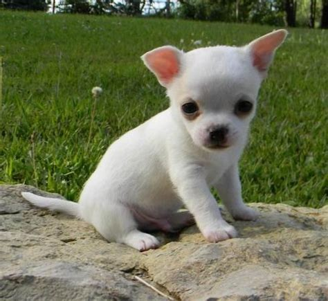 white chihuahua puppies for sale pets sachse tx free classified ads
