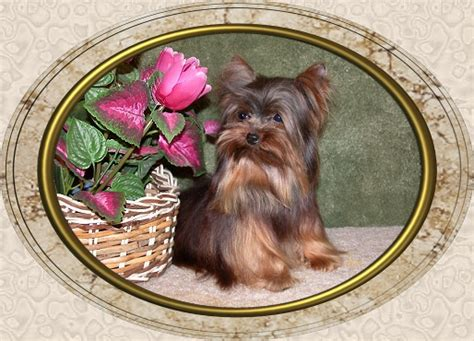 velvet touch yorkies page 8 velvet touch yorkies d o b height weight information