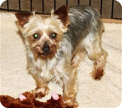 yorkie indiana yorkie terrier for adoption in south bend indiana zoey