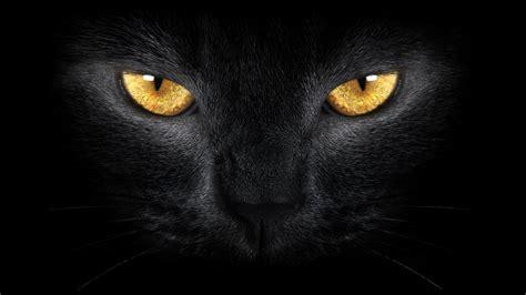 wallpaper yellow cat black cat wild yellow eyes black cat wild hd wallpaper