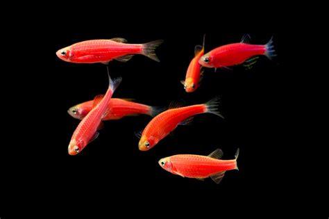 glofish colors glofish 174 gallery