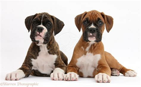 boxer puppies pictures of boxer dogs and puppies images
