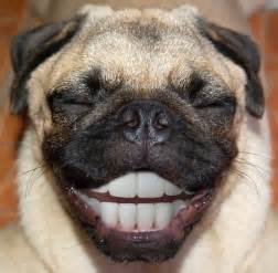 laughing pug pug smiling pugs photoshopped lol left out feelings and dental