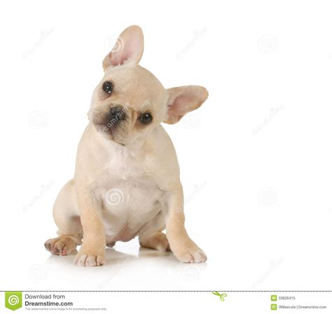looking for free puppies curious puppy royalty free stock photo image 33826415