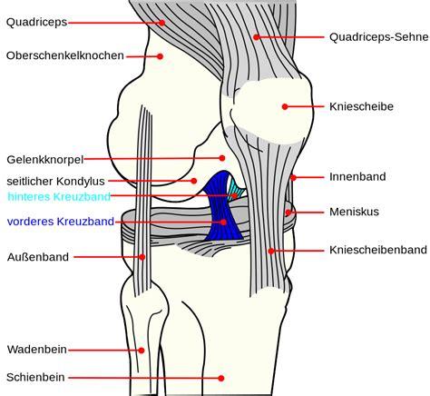 diagram of the knee file knee diagram de acl pcl svg