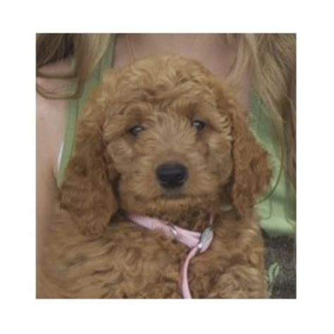 goldendoodle puppies for sale in wv countryside doodles goldendoodle breeder in berkeley