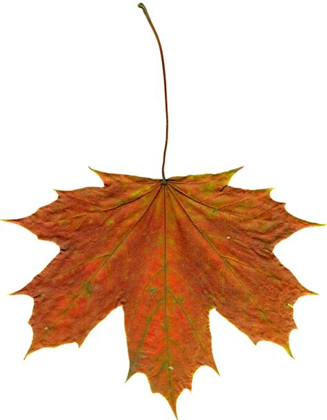 clipart autunno free photo leaves autumn leaves clipart free image on