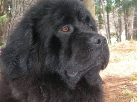 newfoundland puppies ny newfoundland puppies adopt a newfoundland breeds picture