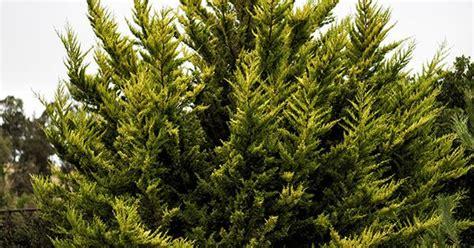 cupressus macrocarpa citriodora plants