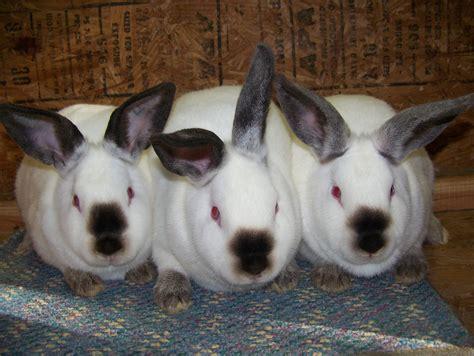 california rabbits