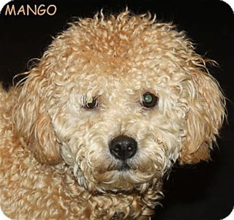 mini goldendoodle new jersey bordentown nj mango adopted new jersey nj