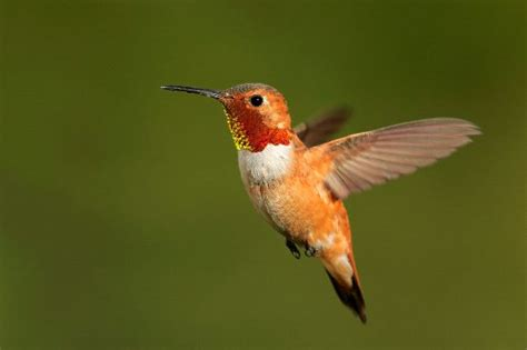 small rufous hummingbird in flight hummingbird facts and