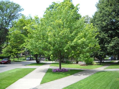 good backyard trees image gallery lawn trees