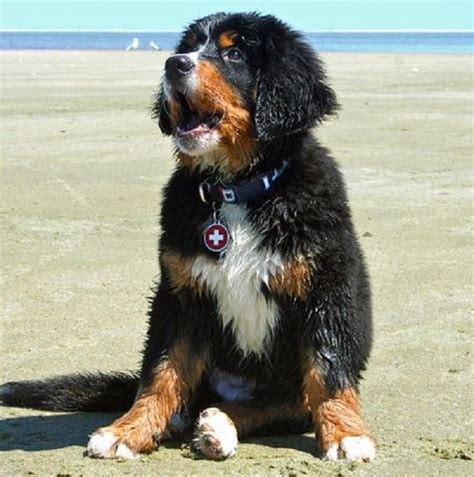 bernese mountain and poodle m 225 s de 25 ideas fant 225 sticas sobre perro crestado rodesiano en perro