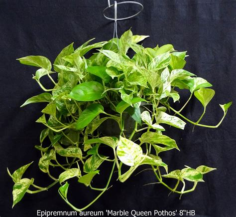 epipremnum aureum 24 ppp high color hanging basket
