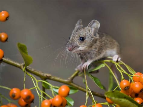 Garden Mouse by The Wood Mouse Identification Diet Creating A Nest Box