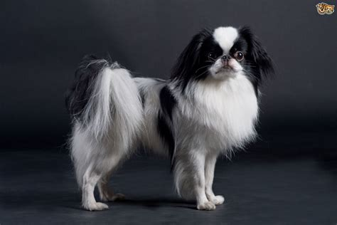 japanese chin japanese chin breed information buying advice photos and facts pets4homes