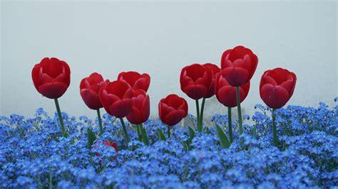 imagenes de flores no me olvides fotos gratis flor p 233 talo tulip 225 n flores no me