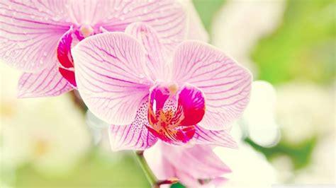 linguaggio dei fiori orchidea significato fiori orchidea linguaggio dei fiori