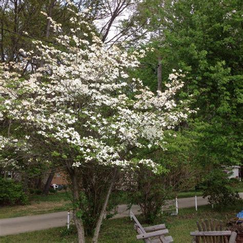 dogwood tree in bloom trees in bloom pinterest