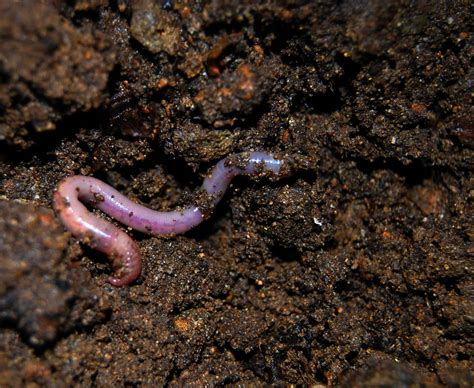 with worms how to grow with organic soil just add water plus soil recipe grow