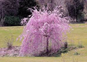 growing a weeping cherry tree