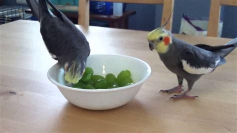 can parrots eat grapes 28 images banyan s end grape