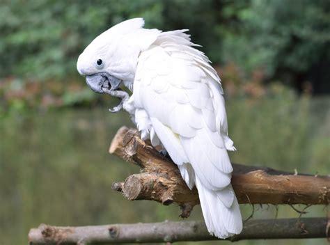 imagenes de guacamayas blancas cacat 250 a de plumaje blanco im 225 genes y fotos