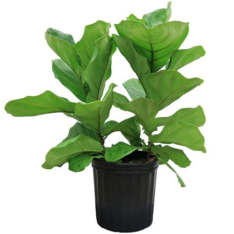 plant l home depot delray plants 8 3 4 in ficus pandurata bush in pot 10pan